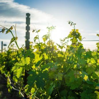 Važnost cinka (Zn) u gnojidbi vinove loze